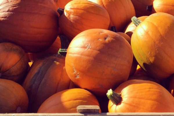 PYO pumpkins Leicester