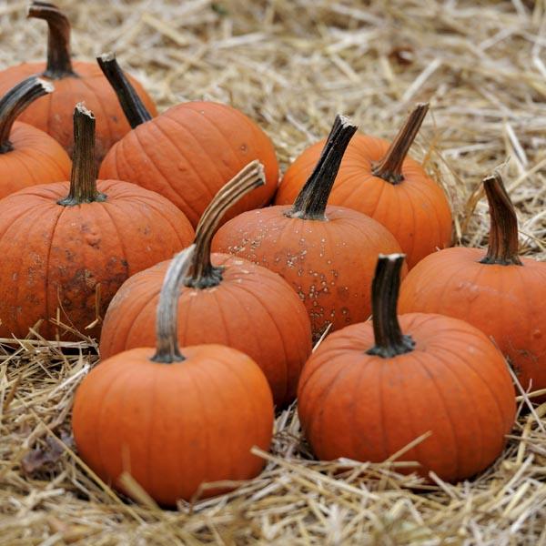 Baby Bear pumpkins Leicester