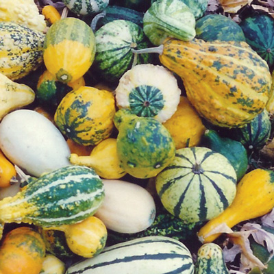 Ornamental Gourds Leicester pumpkins